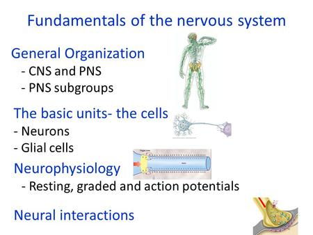 General Organization - CNS and PNS - PNS subgroups The basic units- the cells - Neurons - Glial cells Neurophysiology - Resting, graded and action potentials.