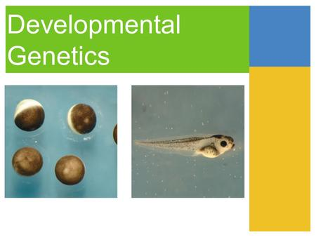Developmental Genetics. Three Stages of Development division morphogenesis differentiation.