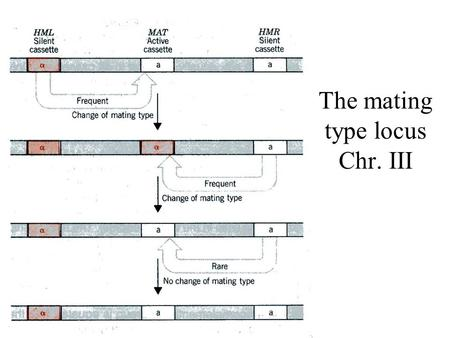 The mating type locus Chr. III. The MAT locus information The MAT locus can encode three regulatory peptides: - a1 is encoded by the MATa allele -