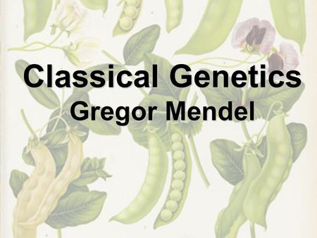Classical Genetics Gregor Mendel. Gene versus Allele Gene - a sequence of DNA in a specific location on a chromosome Determines traits in an organism.