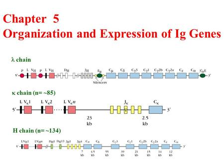 Chapter 5 Organization and Expression of Ig Genes chain  chain (n= ~85) H chain (n= ~134)