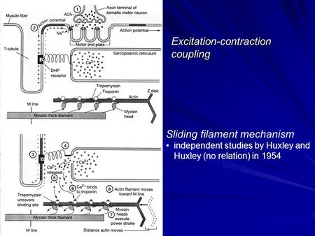 Excitation-contraction coupling Sliding filament mechanism independent studies by Huxley and Huxley (no relation) in 1954.