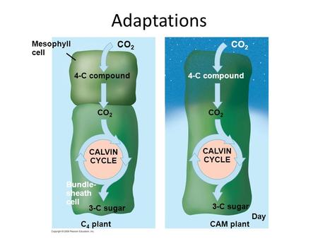 Adaptations CO 2 CALVIN CYCLE Bundle- sheath cell 3-C sugar C 4 plant 4-C compound CO 2 CALVIN CYCLE 3-C sugar CAM plant 4-C compound Night Day Mesophyll.