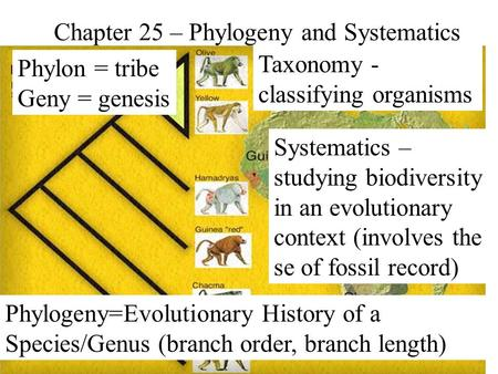 Chapter 25 – Phylogeny and Systematics Phylon = tribe Geny = genesis Phylogeny=Evolutionary History of a Species/Genus (branch order, branch length) Systematics.