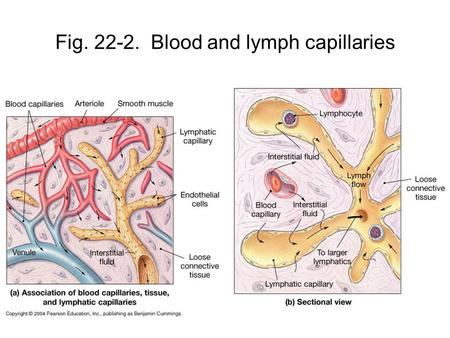 Fig. 22-2. Blood and lymph capillaries. Fig. 22-3 Lymphatic vessels have valves allowing lymph flow toward the veins. How is this like Fig. 21-6?