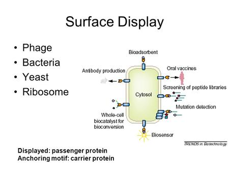 Surface Display Phage Bacteria Yeast Ribosome Displayed: passenger protein Anchoring motif: carrier protein.