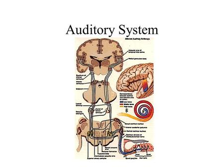Auditory System. External Auditory Structure Organ of Corti.