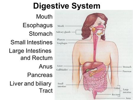 Digestive System Mouth Esophagus Stomach Small Intestines Large Intestines and Rectum Anus Pancreas Liver and biliary Tract See Overhead.