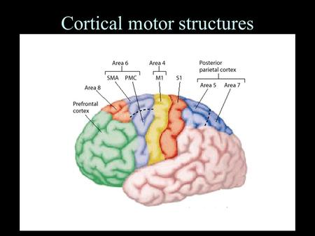 Cortical motor structures. Hierarchical Organization of Motor System.