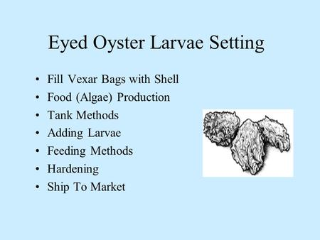 Eyed Oyster Larvae Setting Fill Vexar Bags with Shell Food (Algae) Production Tank Methods Adding Larvae Feeding Methods Hardening Ship To Market.