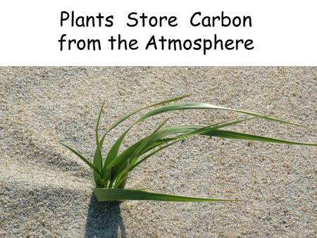 Plants Store Carbon from the Atmosphere. Water comes up the stem and into the leaves.