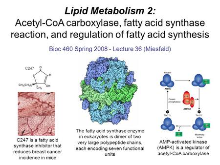 Lipid Metabolism 2: Acetyl-CoA carboxylase, fatty acid synthase reaction, and regulation of fatty acid synthesis Bioc 460 Spring 2008 - Lecture 36 (Miesfeld)