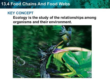 13.4 Food Chains And Food Webs KEY CONCEPT Ecology is the study of the relationships among organisms and their environment.