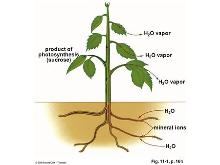 Fig. 11-1, p. 164 H2OH2O product of photosynthesis (sucrose) H 2 O vapor H2OH2O mineral ions.