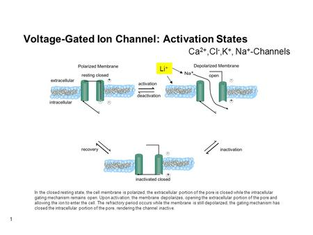 1 Voltage-Gated Ion Channel: Activation States Li + Ca 2+,Cl -,K +, Na + -Channels In the closed resting state, the cell membrane is polarized, the extracellular.