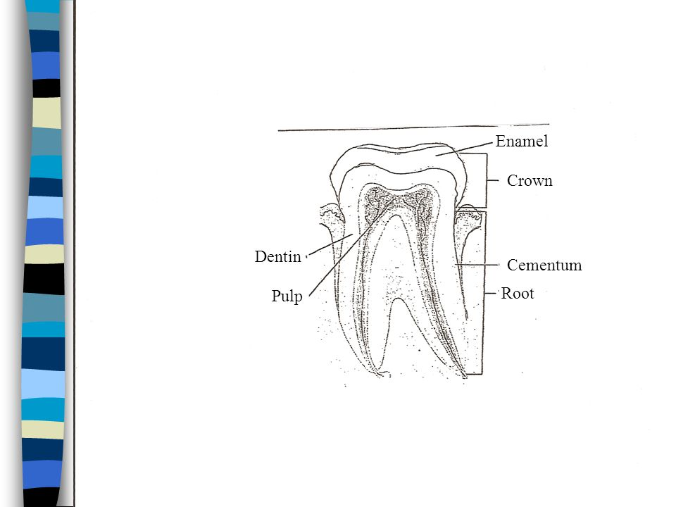 Types of teeth Type of teeth NumberFunctionLocationDescrip- tion Incisor, central or lateral 8Cuts foodFront of mouth Broad, sharp Cuspid, canine 4Tears foodAngles of lipsLongest in mouth Bicuspid or premolars 8Grinds foodBetween cuspids & molars Flat Molar12 (3 rd molars are wisdom teeth) Grinds foodBack of mouth Largest & strongest