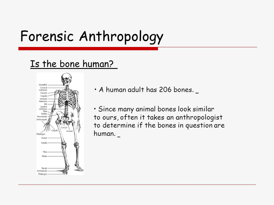 Forensic Anthropology Which is the human femur bone? ACBD Chimpanzee HumanT-Rex Great Dane