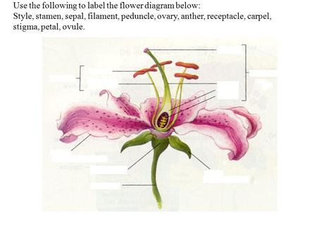 Use the following to label the flower diagram below: Style, stamen, sepal, filament, peduncle, ovary, anther, receptacle, carpel, stigma, petal, ovule.