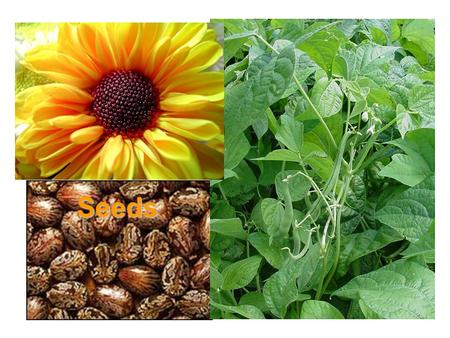 Seeds Seeds. What are seeds? Parts of a seed – seed coat Why do seeds have a seed coat?
