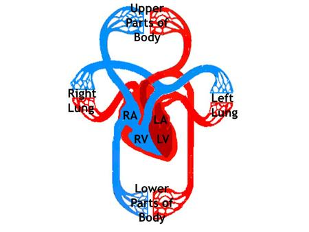 Upper Parts of Body Right Lung Left Lung RA LA RV LV
