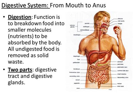 Digestive System: Digestive System: From Mouth to Anus Digestion: Function is to breakdown food into smaller molecules (nutrients) to be absorbed by the.