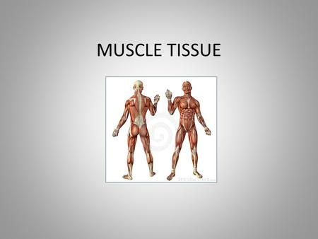 MUSCLE TISSUE. Muscle Tissue Characteristics Contractile Made of contractile proteins Cells are called fibers.