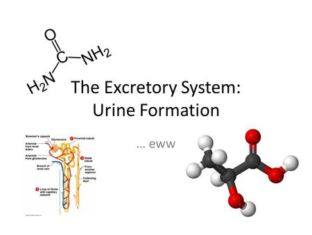 The Excretory System: Urine Formation … eww. The Excretory System Mammals must excrete many different wastes in order to remove toxic substance from the.