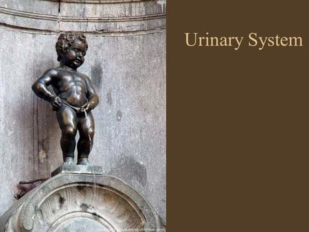 Urinary System. Why do we urinate? To remove metabolic wastes from body Cells produce wastes that are toxic Nitrogenous wastes are converted to urea by.