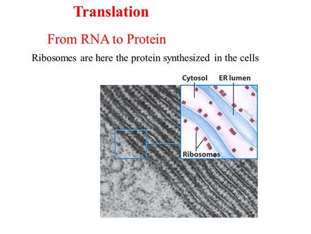 Ribosomes are here the protein synthesized in the cells From RNA to Protein Translation.