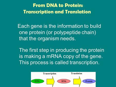 From DNA to Protein: Each gene is the information to build one protein (or polypeptide chain) that the organism needs. The first step in producing the.