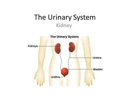 The Urinary System Kidney.