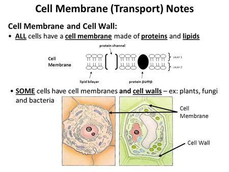 Cell Membrane (Transport) Notes Cell Membrane and Cell Wall: ALL cells have a cell membrane made of proteins and lipids Cell Membrane lipid bilayer protein.