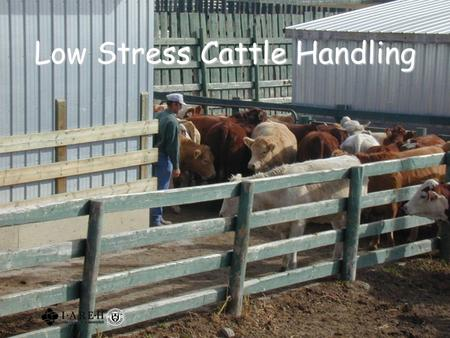 Low Stress Cattle Handling. 2 Outline Background Animal science research Understanding cattle behaviour Moving cattle Special hazards A word about bulls.