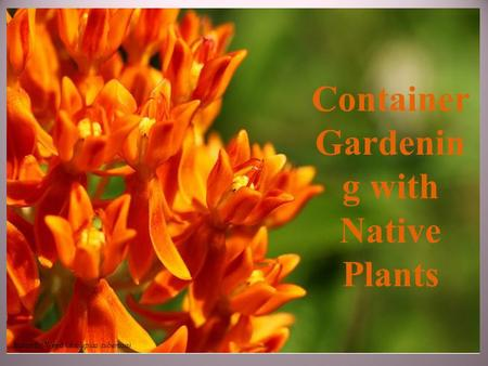 Container Gardenin g with Native Plants Butterfly Weed (Asclepias tuberosa)