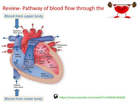Week 12 Arterial Blood Pressure Amp Heart Sounds Ppt Download