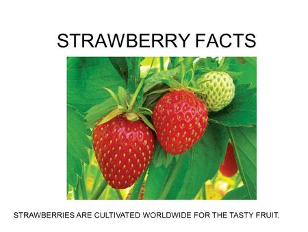 STRAWBERRY FACTS STRAWBERRIES ARE CULTIVATED WORLDWIDE FOR THE TASTY FRUIT.