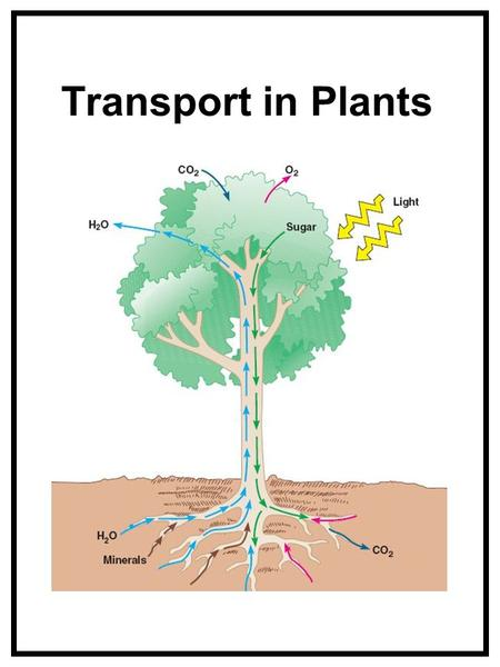 Transport in Plants.