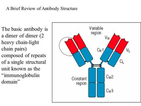 "The basic antibody is a dimer of dimer (2 heavy chain-light chain pairs) composed of repeats of a single structural unit known as the ""immunoglobulin domain"""