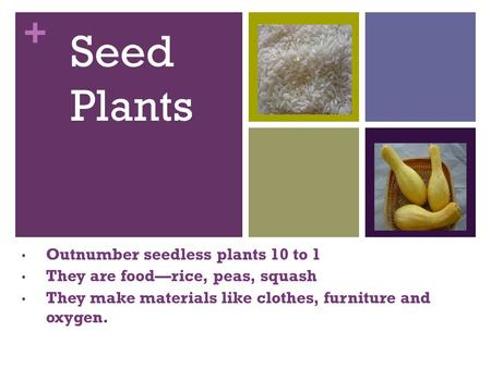 + Seed Plants Outnumber seedless plants 10 to 1 They are food—rice, peas, squash They make materials like clothes, furniture and oxygen.