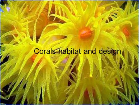 Corals habitat and design. Corals Soft corals Group of the spices called (Alcyonacea) soft bodies made up of a large number of polyps connected by fleshy.