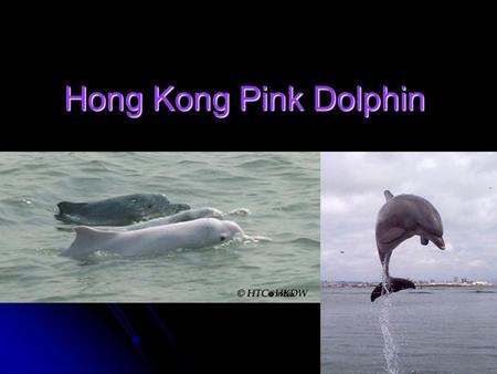 Hong Kong Pink Dolphin. Pink Dolphin Features Size: 2.5 to 3 meters and 90 kilograms Males are generally larger. Size: 2.5 to 3 meters and 90 kilograms.
