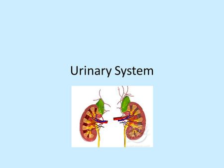 Urinary System. Functions Maintains homeostasis in blood by: 1.Regulating : – blood pressure by blood volume – ion, e.g. +, K +, & 2+ – blood by maintaining.