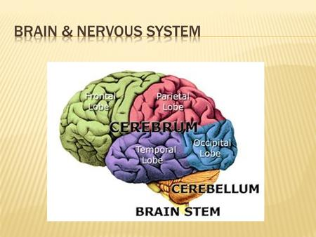 Divisisons of Nervous System  Neurons are similar to other cells in the body  Surrounded by cell membrane  Have a nucleus that contains genes  Contain.