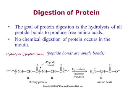 Digestion of Protein The goal of protein digestion is the hydrolysis of all peptide bonds to produce free amino acids. No chemical digestion of protein.