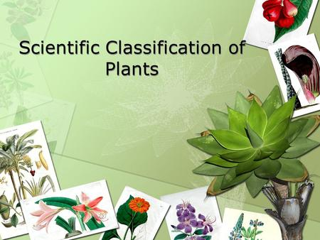Scientific Classification of Plants. Taxonomy The science of classifying and identifying plants Scientific names are used because the same common name.