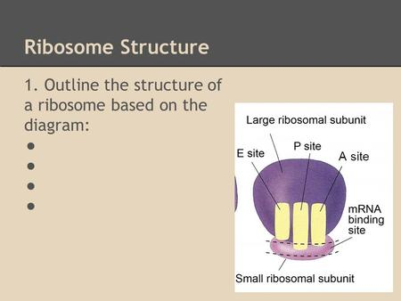 Ribosome Structure 1. Outline the structure of a ribosome based on the diagram: ● A site.