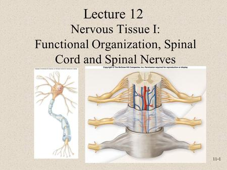 11-1 Nervous Tissue I: Functional Organization, Spinal Cord and Spinal Nerves Lecture 12.