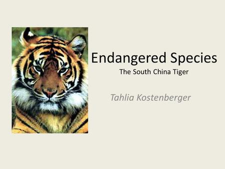 Endangered Species The South China Tiger Tahlia Kostenberger.