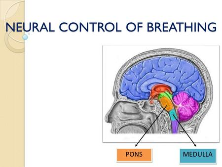 NEURAL CONTROL OF BREATHING MEDULLA PONS. Neural Control Of Breathing Voluntary Cerebral cortex Autonomic Medullary Centers Dorsal Respiratory Group Ventral.