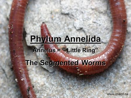 "Phylum Annelida Annelus = "" Little Ring"" The Segmented Worms www.onacd.ca."